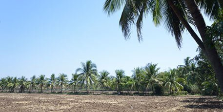 coconut trees - farm